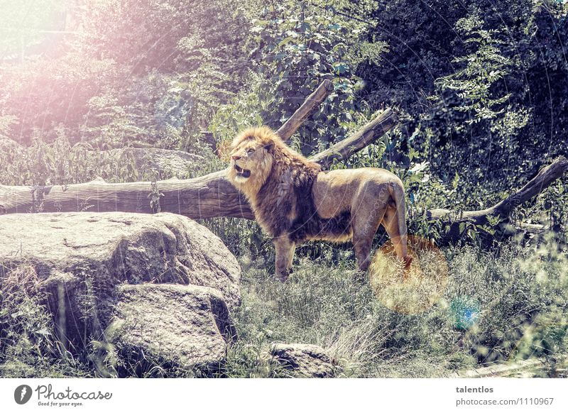 lion Nature Animal Wild animal Zoo Aggression Threat Muscular Strong Yellow Success Power Willpower Might Brave Determination Truth Honest Adventure Lion