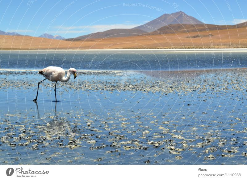 Highland Flamingos in a Laguna, Bolivia, Andes Nature Vacation & Travel Blue Clouds Animal Mountain Stone Lake Bird Pink Park Wild Exotic South Height