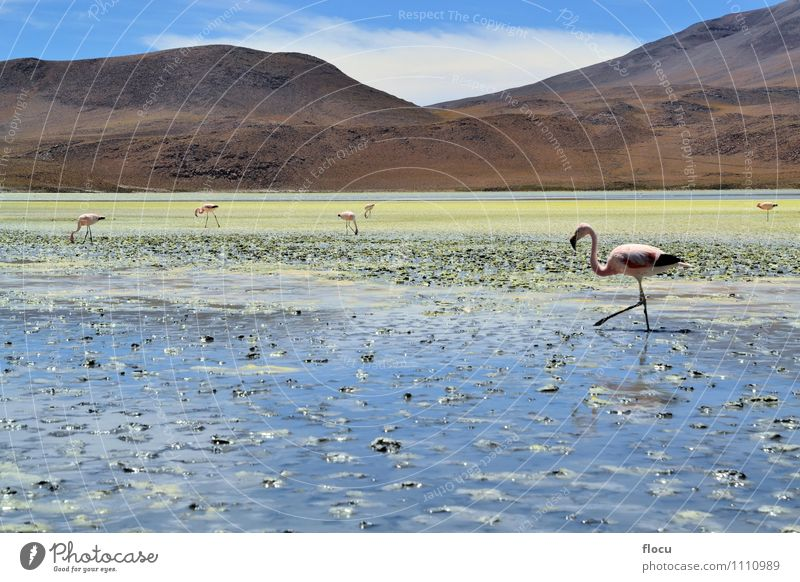 Highland Flamingos in a Laguna, Bolivia, Andes Exotic Vacation & Travel Safari Mountain Nature Animal Clouds Park Lake Bird Stone Wild Blue Pink water andean