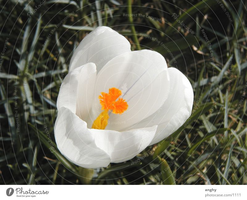 Nature White Crocus Flower