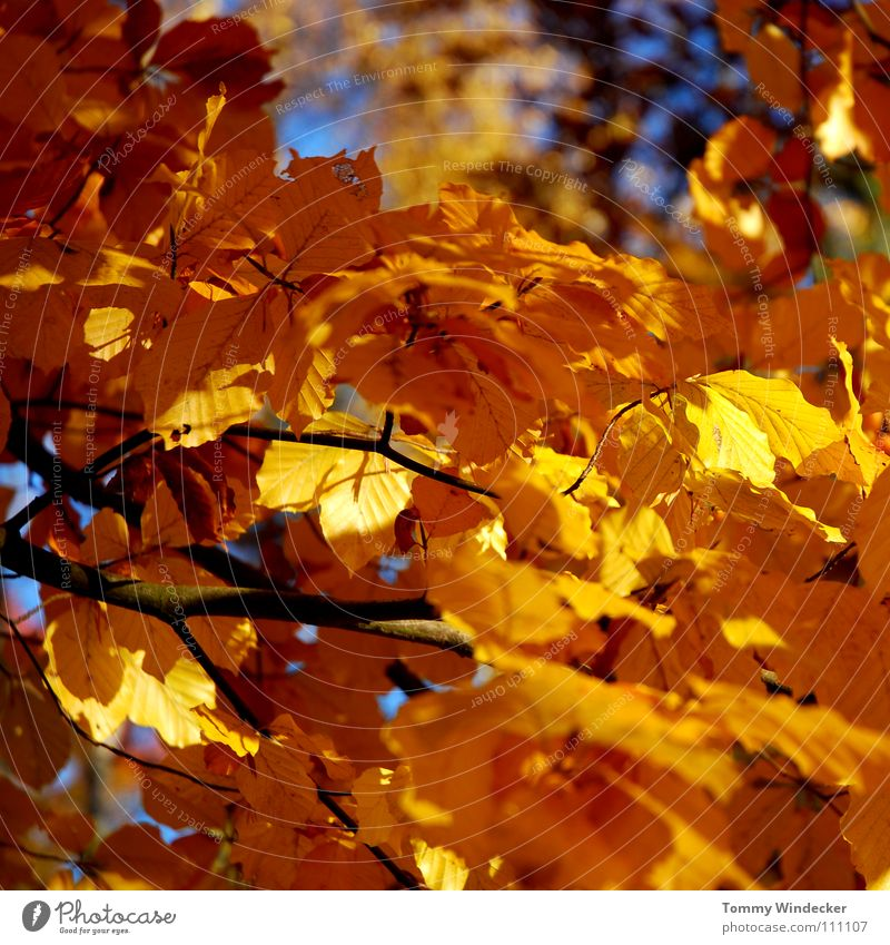 Gold Leaf II Autumn October November Tree Forest Multicoloured Yellow Plant Seasons Autumnal colours Brown Autumn leaves Automn wood Deciduous tree Oak tree