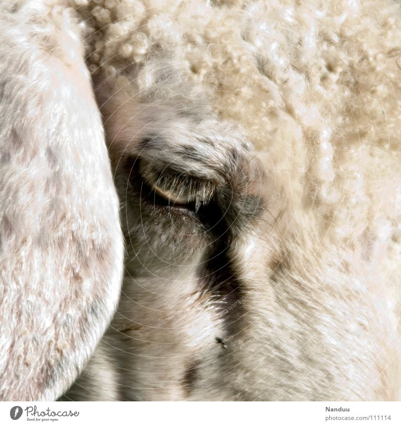 100 thoughts... Ear Animal Pelt Sadness Cuddly Soft White Sheep Curly Lop ears Baaa Mammal Wooly Eyes Colour photo Subdued colour Exterior shot Detail Deserted