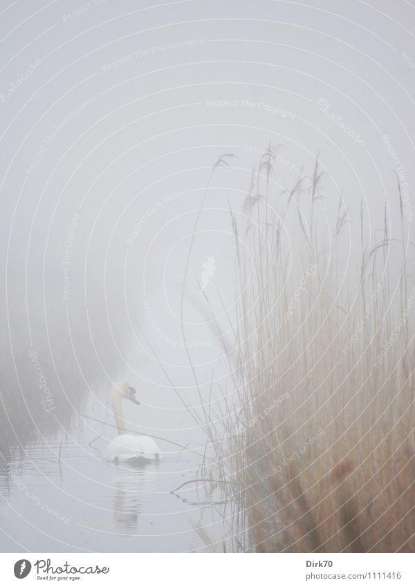 Mist Swan Environment Nature Landscape Water Fog Wild plant Common Reed Marsh grass Coast River bank Brook Water ditch Animal Wild animal Bird Mute swan 1