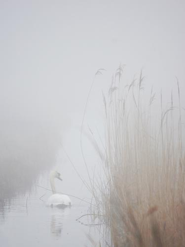 Mist Swan Environment Nature Landscape Water Fog Wild plant Common Reed Marsh grass Coast River bank Brook Water ditch Animal Wild animal Bird Mute swan 1