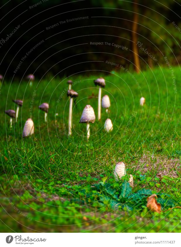 family reunions Environment Nature Landscape Plant Summer Grass Meadow Forest Growth Mushroom Many Wild Outskirts Stalk Green brown-beige Brown Beige Head