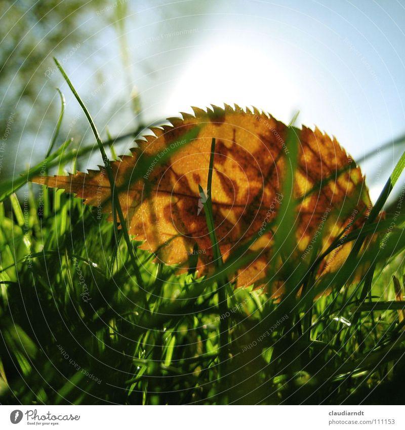 leaf hedgehog Leaf Autumn Green Meadow Grass Warm light X-rayed Blade of grass Fresh Worm's-eye view Hedgehog Thorny Lawn Macro (Extreme close-up) Dappled Point