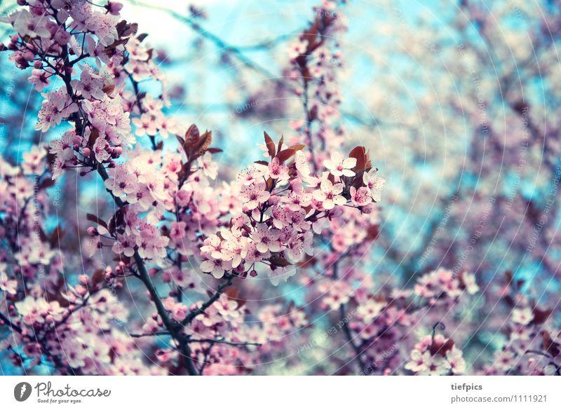 Blue Spring Blossom Pink Retro Twig Cherry Spring fever Cherry blossom Cherry tree