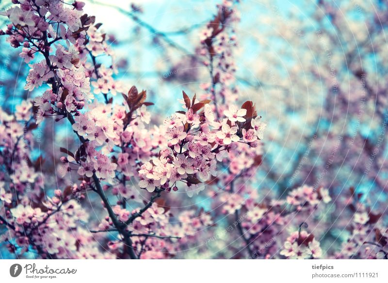cherry blossom Spring Retro Pink Cherry tree Cherry blossom crish-blue bleed buds Twig Spring fever Blossom Blue Colour photo Subdued colour Blur