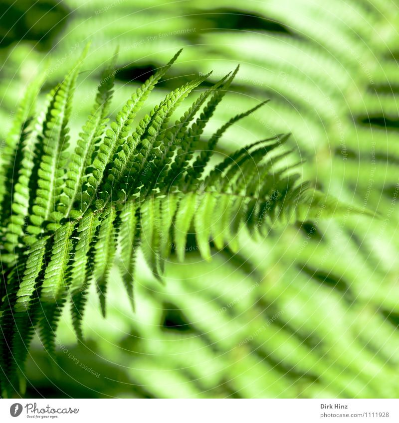 Nature Plant Green Forest Environment Natural Garden Park Growth Fresh Virgin forest Delicate Rachis Foliage plant Leaf green Fern