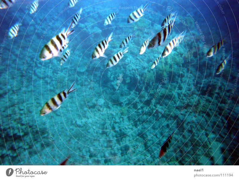 Underwater Zebra Ocean Water Beautiful weather Coral reef Fish Blue Green Striped Colour photo Black & white photo Underwater photo Copy Space middle Day Flock
