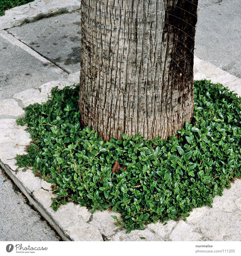 organic dildo Palm tree Green Edge Rectangle Round Tree South Robust Hint Captured Unclear Asphalt Sidewalk Parking lot Spain Physics Traffic infrastructure
