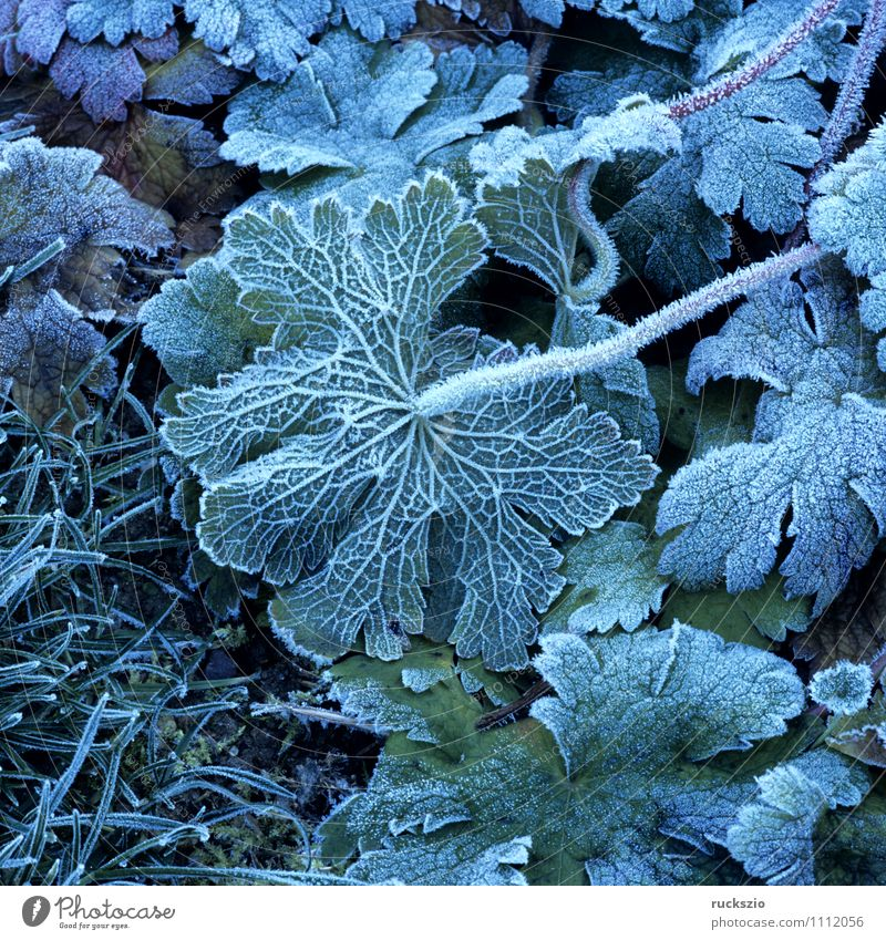 Leaf, hoarfrost, Winter Fog Cold Hoar frost winter impression Haze Mature wheeled Impression winter impressions Ice Geranium Frost leaves Manure heap