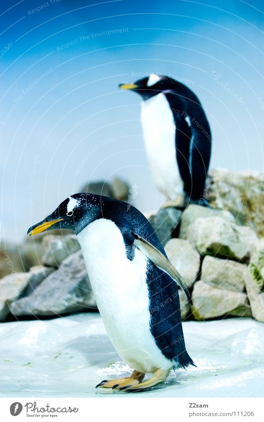 poser in tails II Penguin Cold Animal Bird Antarctica Emperor penguins Waddle Stand Beak Yellow Funny Light blue Sky Middle Posture Ice Blue Wing In pairs