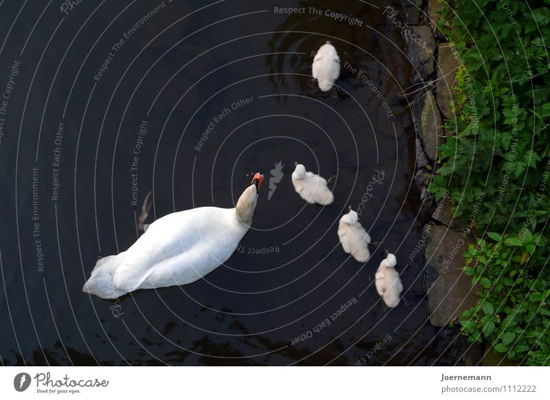 swan family Water Park River bank Pond Animal Bird Group of animals Animal family Security Family Cohesion Safety (feeling of) Protection Together
