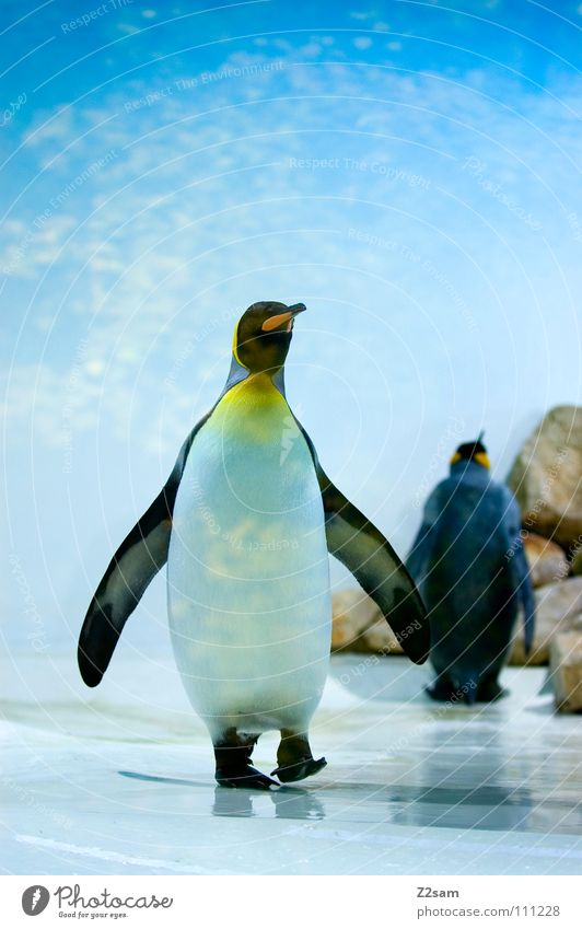 poser in tailcoat III Penguin Cold Animal Bird Antarctica Emperor penguins Waddle Stand Beak Funny Light blue Sky Middle Posture Ice Blue Wing In pairs