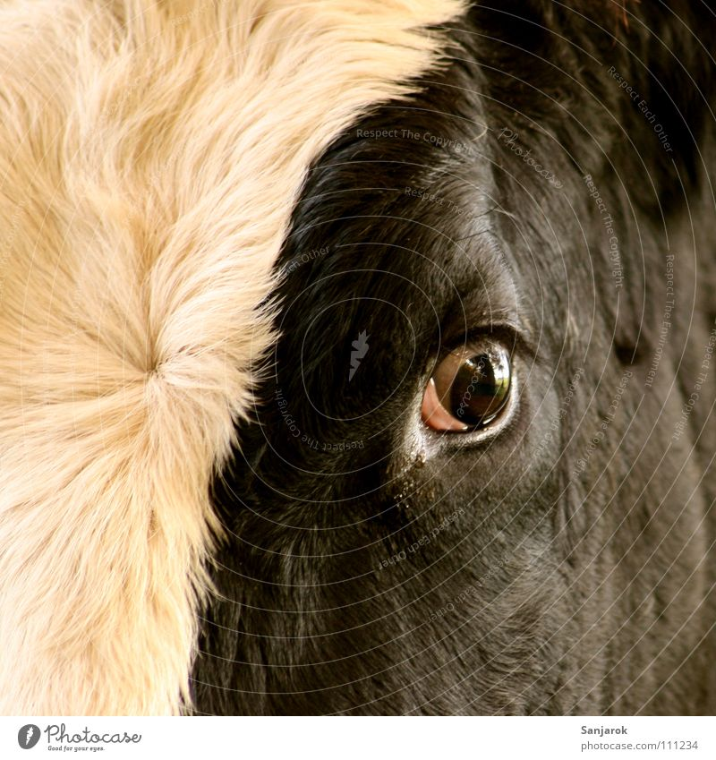 Eyes Death Fear Dangerous Cow Pasture Blood Mammal Panic Kill Bull Barn Cattle Farm animal Butcher