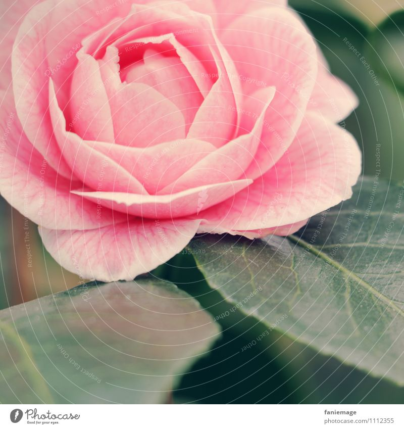 Nature Beautiful Green Flower Leaf Emotions Love Blossom Pink Elegant Fresh Open Esthetic Romance Symbols and metaphors Rose