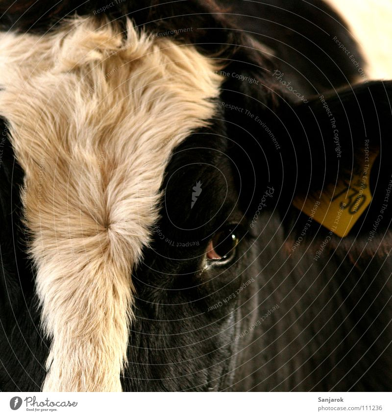 Beautiful Eyes Signs and labeling Pelt Cow Pasture Mammal Earring Farm animal