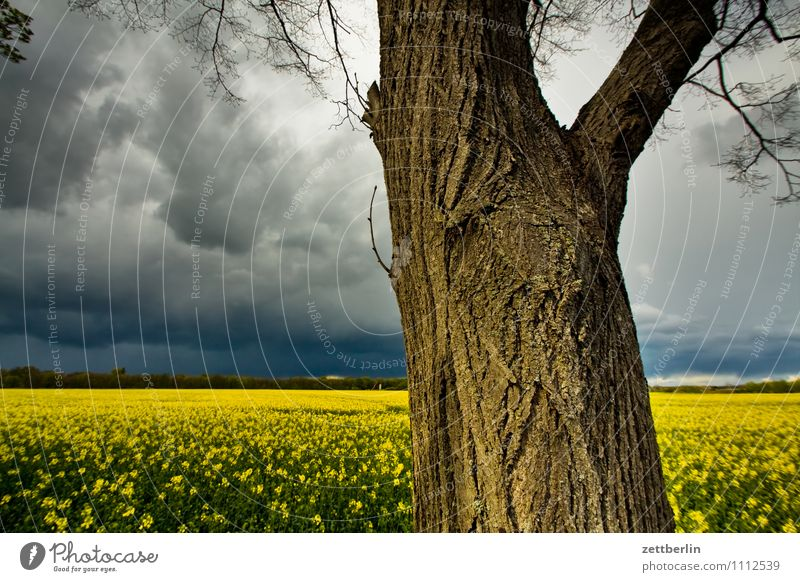 Tree, rape, thunderstorm Trip Spring Thunder and lightning Sky Park Tourism Weather Clouds Canola Field Canola field Agriculture Tree trunk Horizon