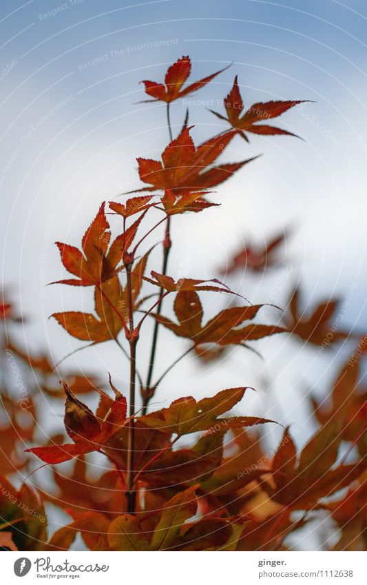 Splendour. Full. Nature Plant Bushes Leaf Growth Sky Rust Red Colour Guide Prongs Virginia Creeper Ambitious Blue sky Many Autumnal Blur fade Colour photo