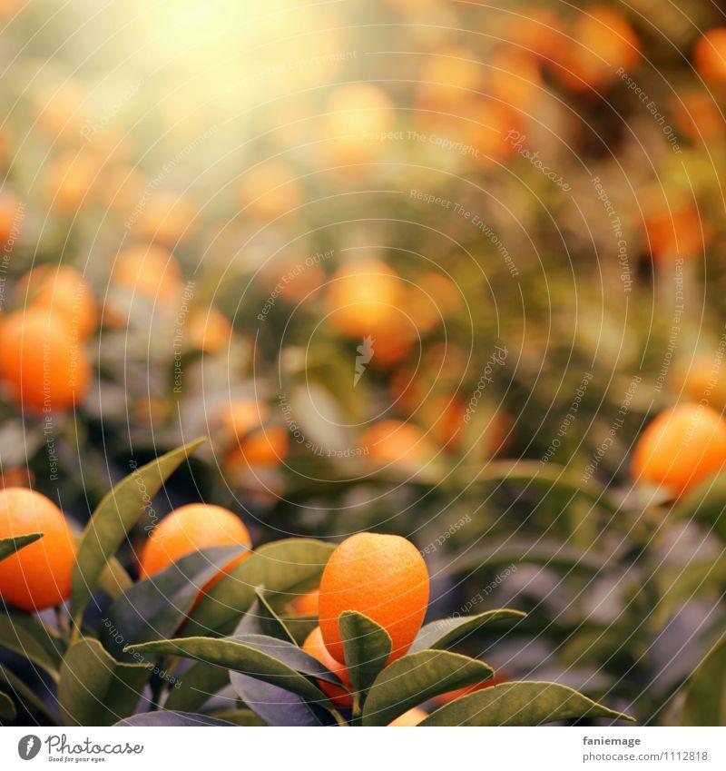 orange Nature Sun Summer Plant Tree Exotic Warmth Warm light Orange Orange tree Shallow depth of field Dark green Green Illuminate Fruity Juice Delicious