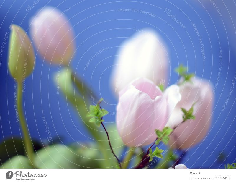 pink Spring Flower Tulip Blossom Blossoming Blue Pink Tulip blossom Bud Leaf bud Colour photo Multicoloured Exterior shot Close-up Deserted Copy Space top