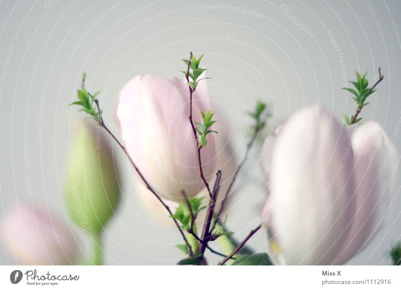 light Easter Spring Flower Tulip Blossom Blossoming Growth Bright Pink Leaf bud Shoot Branch Twigs and branches Spring flower Spring colours Colour photo