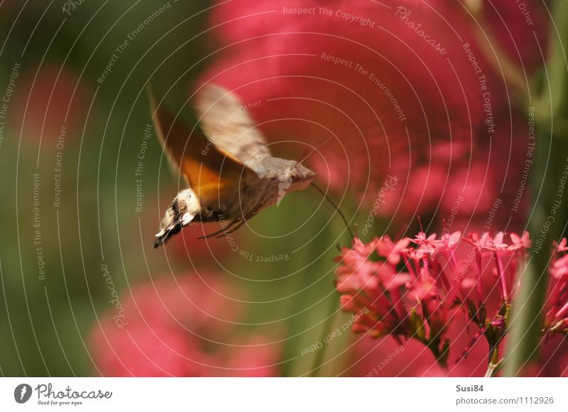Air refuelling 2 Nature Plant Animal Spring Summer Flower Blossom Wild plant Garden Meadow Wild animal Butterfly Wing Hummingbirds pigeon tail 1 Flying To feed