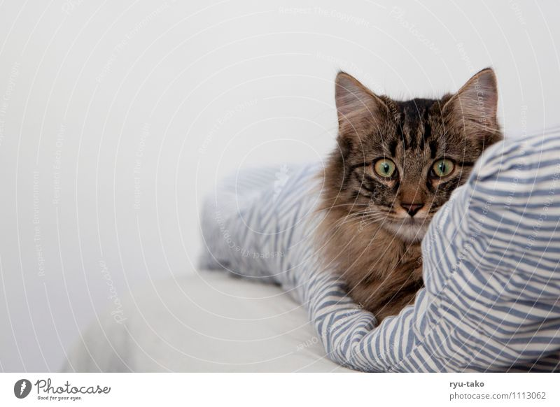 comfortable in bed Pet Cat Animal face Norwegian Forest Cat 1 Baby animal Lie Curiosity Cute Calm Bedclothes Blanket Soft Break Domestic cat Colour photo