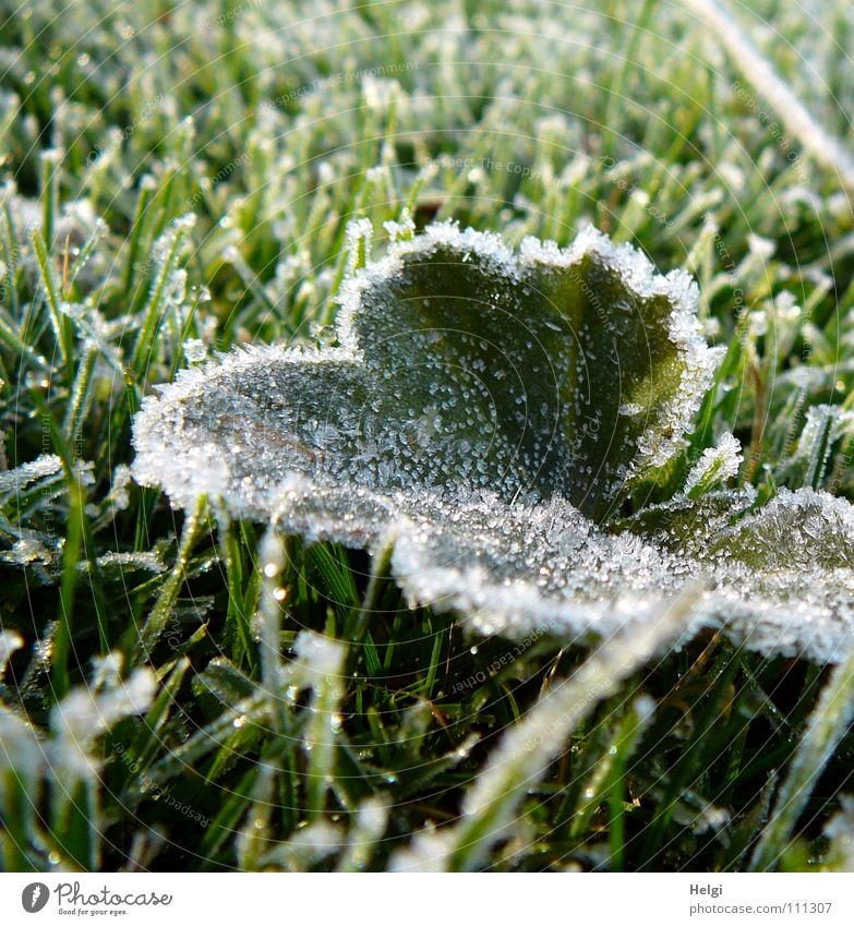 green leaf with ice crystals iegt in frozen grass Autumn Winter Hoar frost Freeze Frozen Cold Morning Leaf Grass Meadow Blade of grass Ice crystal Glittering