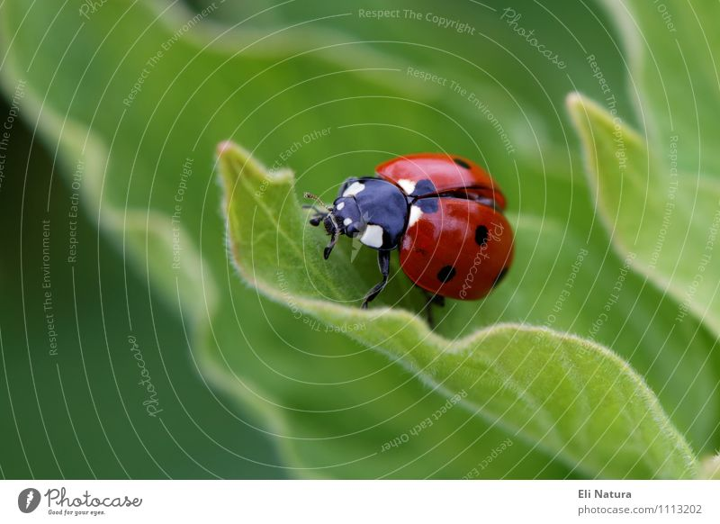 Ladybird 2.0 Environment Nature Plant Spring Summer Leaf Garden Park Meadow Animal Wild animal Beetle Good luck charm Happy 1 Discover Crawl Free Glittering