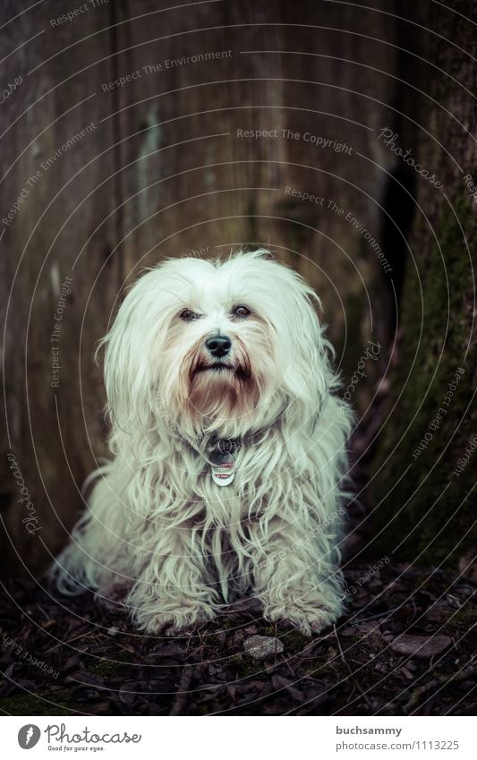 Casual dog Animal Pelt Long-haired Pet Dog 1 Friendliness Small Brown White Obedient Tree trunk bichon Watchdog Havanese Mammal Copy Space Seat Colour photo
