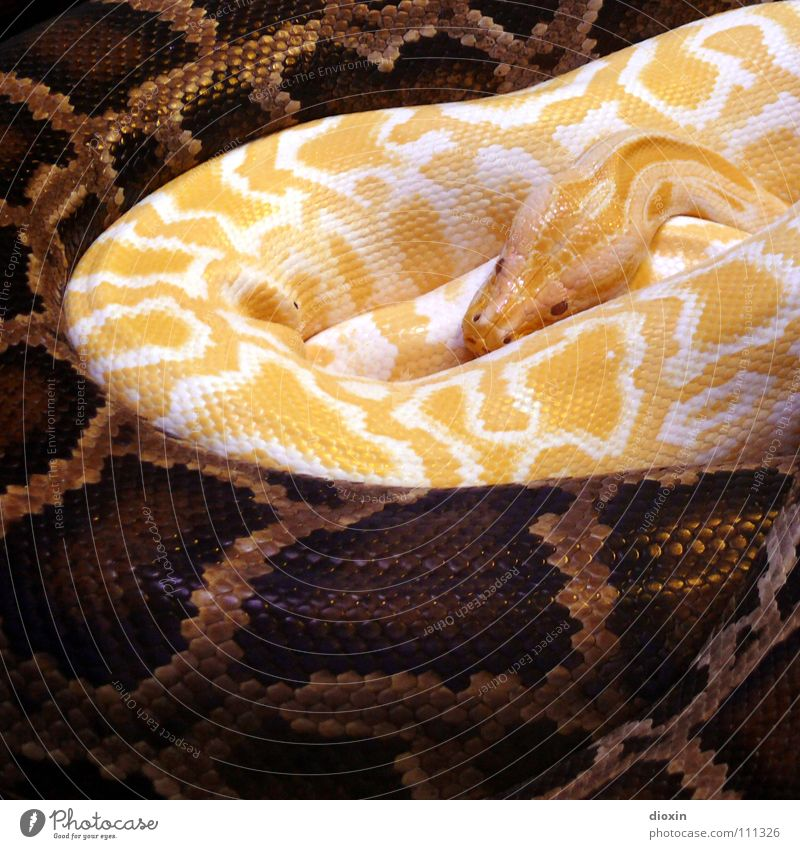Nature Animal Yellow Warmth Brown Together Wild animal Attachment Near Paradise Zoo Safety (feeling of) Thailand Snake Cuddling Sin