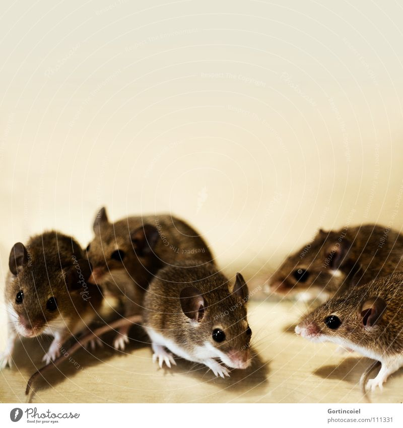 The pack Pet Mouse Animal face Pelt Paw Group of animals Pack Animal family Small Cute Brown Button eyes Rodent Diminutive Mammal dwarf mouse peck mouse