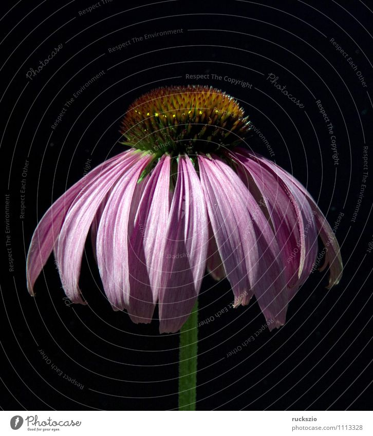 Red coneflower, echinacea, purpurea, Alternative medicine Nature Plant Flower Blossom Garden Free Black Purple cone flower shrub red flowers Medicinal plant