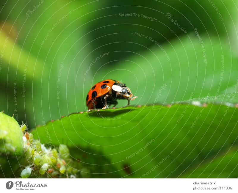 Nature Green Red Ladybird Beetle Isopod Greenfly