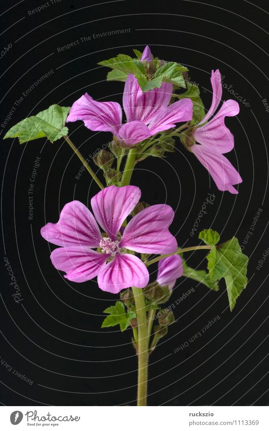 Nature Plant Black Blossom Garden Wild Free Large Blossoming Violet Alternative medicine Medicinal plant Object photography Wild plant Meadow flower Neutral