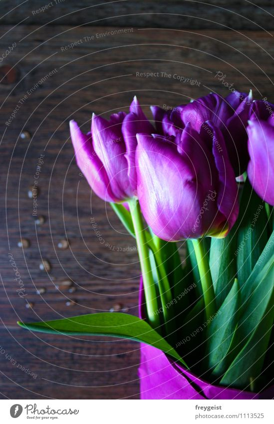 Tulips from Amsterdam... Plant Spring Summer Flower Leaf Blossom Foliage plant Blossoming Fragrance Lie Growth Happiness Fresh Green Violet Pink Joy Happy