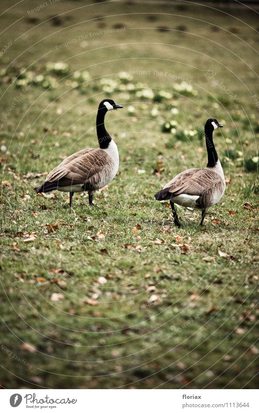 canada geese walking on sundays Environment Nature Animal Park Bird 2 Pair of animals Observe Movement Relaxation Walking Gray Green Emotions
