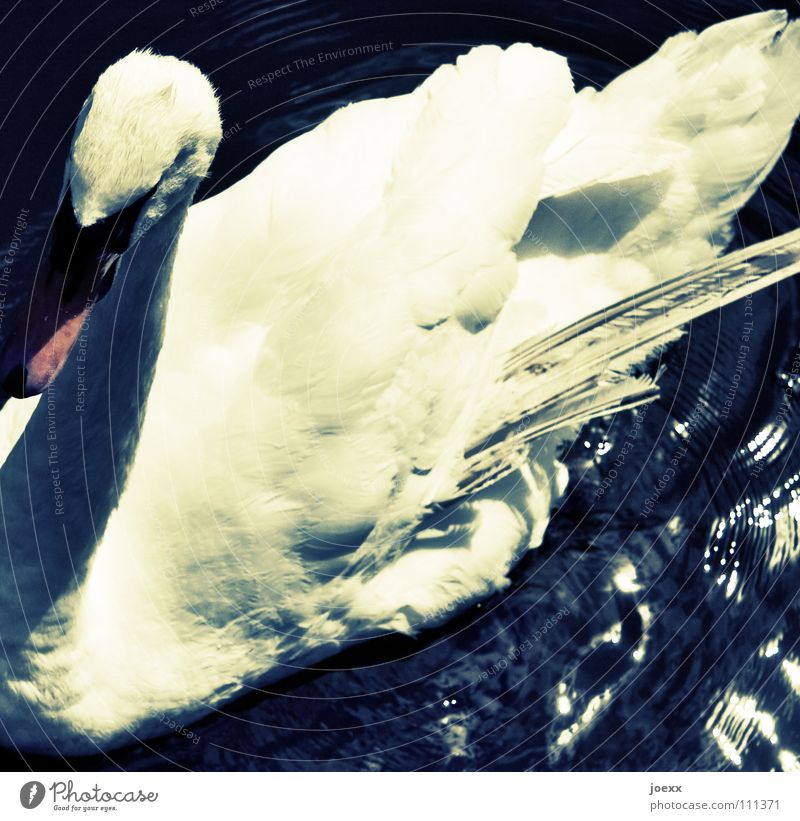 dying swan Breakdown Malfunction Mute swan Feather Flashy Precarious Feeble Swan Epidemic Environmental pollution Poisoned Bird Summer Old Wing lame gooseneck