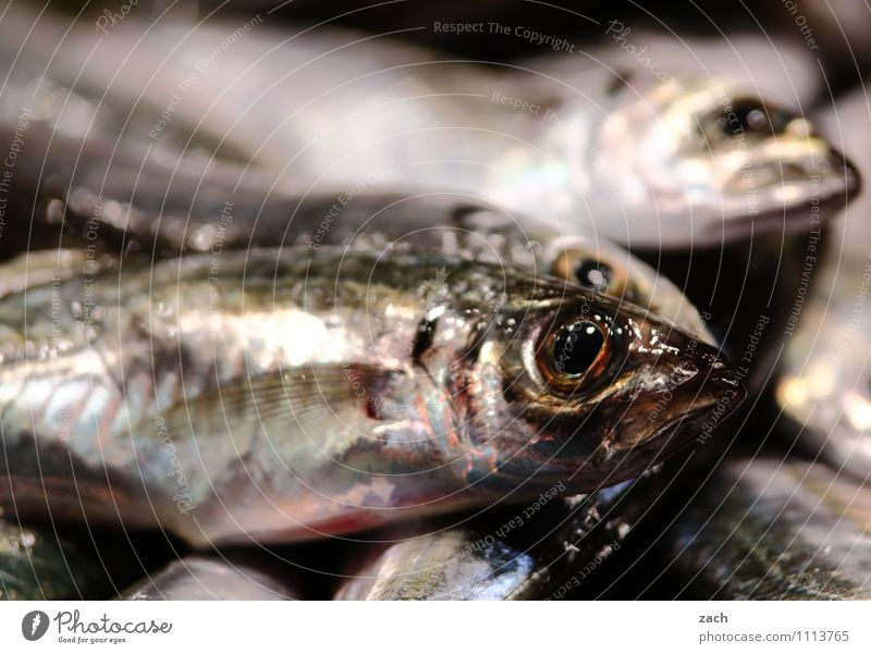 Animal Eating Death Gray Food Nutrition To enjoy Fish Dinner Vegetarian diet Lunch Disgust Scales Gluttony Sushi