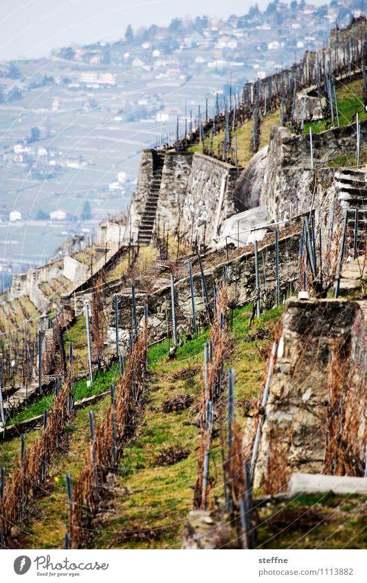Alpine Vineyards Spring Plant Mountain Wine Lausanne Switzerland Slope Grape harvest Agriculture Steep Colour photo Exterior shot Day