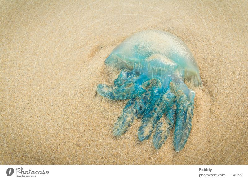 Buffing Wheel I Nature Sand Coast Beach Bay Ocean Island Pacific beach Pacific Ocean Jellyfish 1 Animal Lie Blue Vacation & Travel Dead animal Subdued colour