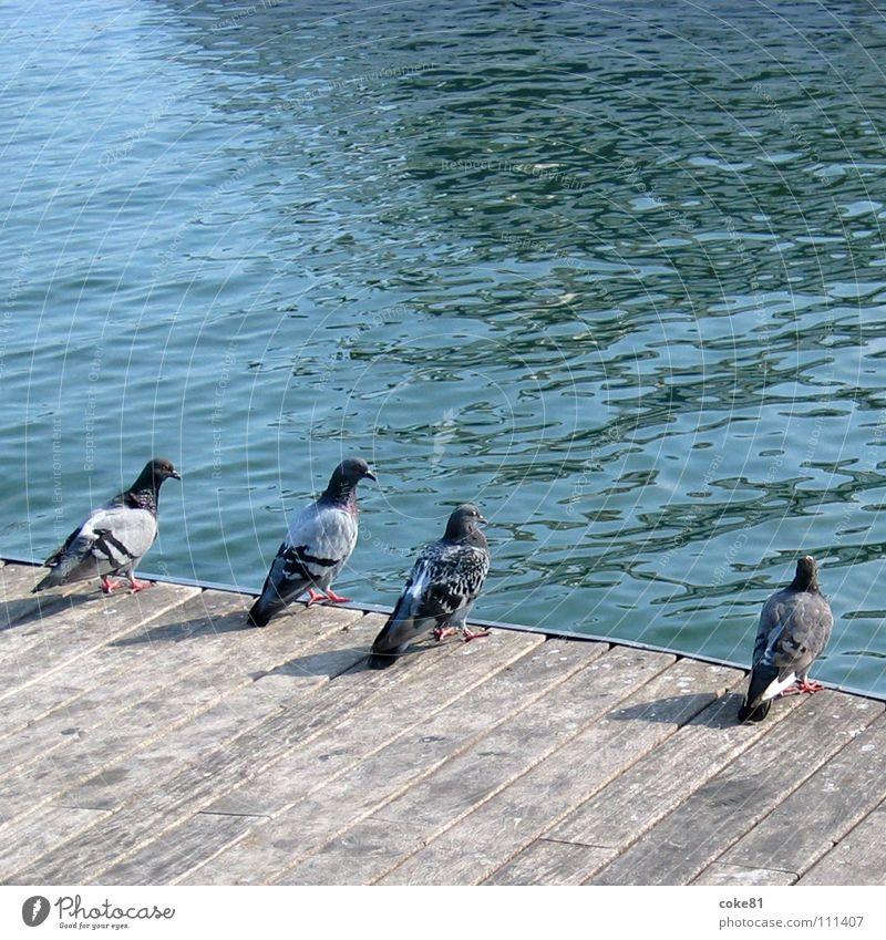 pigeons_blue Bird Pigeon Wood Gray Ocean Blue Harbour