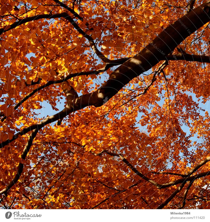 Tree Red Leaf Yellow Forest Autumn Park To go for a walk Branch November October