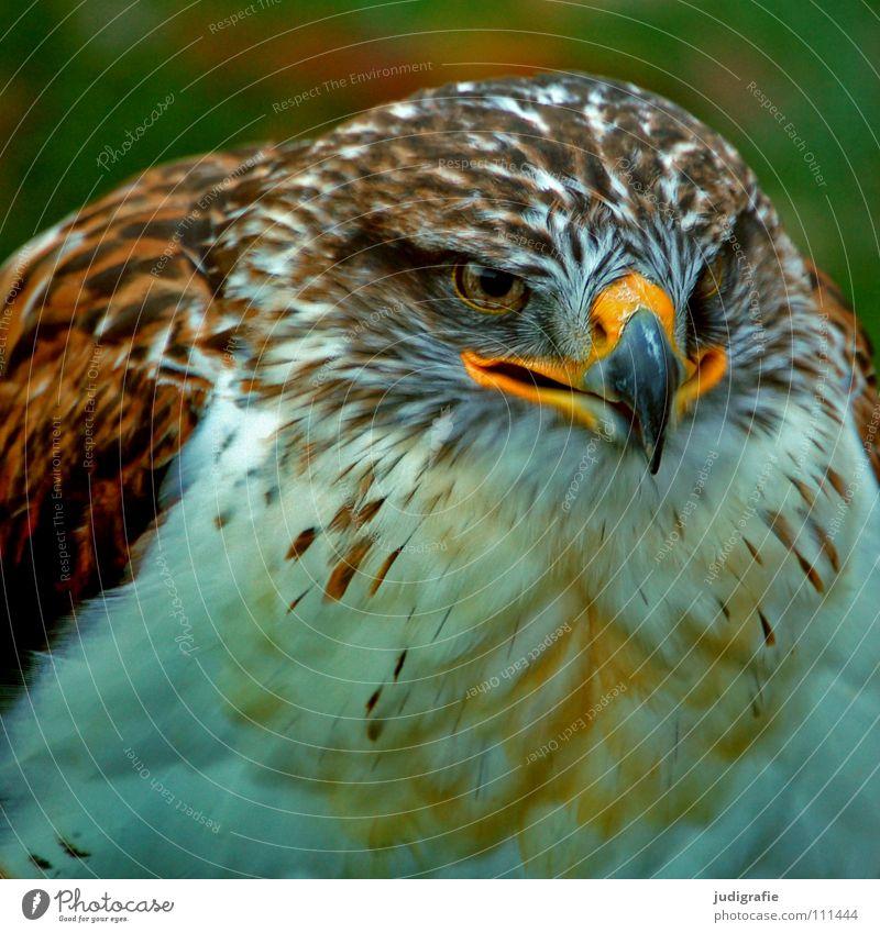 eagle Hawk Bird Bird of prey Beak Feather Ornithology Animal Beautiful Colour Royal Foot Buzzard Pride Looking