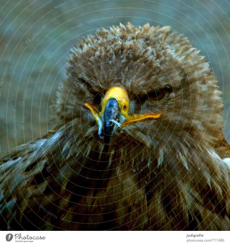 eagle Eagle Bird Bird of prey Beak Feather Ornithology Animal Beautiful Colour steppe eagle Pride Looking