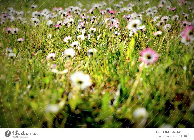 daisies Nature Plant Earth Spring Summer Beautiful weather Flower Grass Leaf Blossom Foliage plant Wild plant Daisy Meadow Authentic Friendliness Happiness