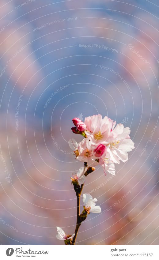 Ornamental cherry spring picture Nature Landscape Sky Cloudless sky Sun Sunlight Summer Beautiful weather Plant Tree Blossom Wild plant Exotic Cherry blossom