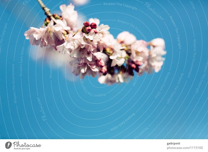 Pink Cloud Nature Plant Sky Cloudless sky Spring Beautiful weather Leaf Blossom Almond blossom Cherry blossom Blossoming Fragrance Happiness Fresh Blue Happy